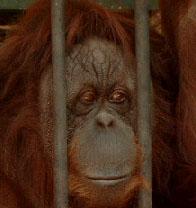 Klik for stor trist orangutang