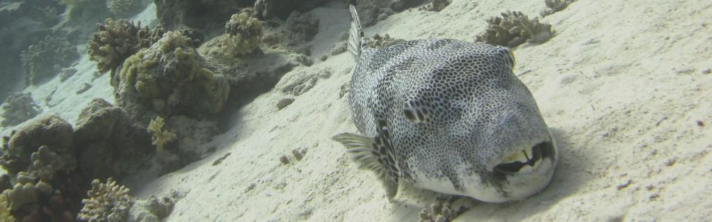 pufferfisk