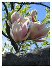 magnolie1.jpg