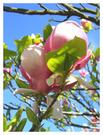 magnolie2.jpg