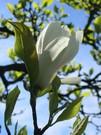 magnolie3.jpg