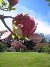 magnolie4.jpg